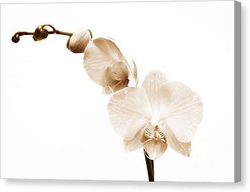 White Orchid Canvas Print by Mindy Sommers