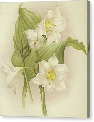 White Orchids   Eucharis Sanderiana Canvas Print by English School