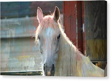 White Painted Horse Canvas Print by Trish Tritz