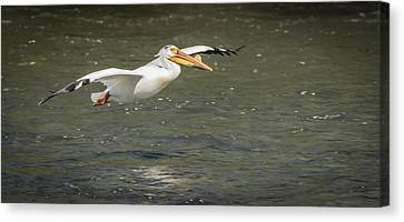 White Pelican 1-2015 Canvas Print by Thomas Young