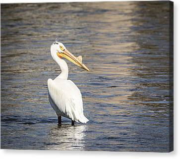 White Pelican 2-2015 Canvas Print by Thomas Young