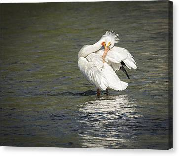 White Pelican 3-2015 Canvas Print by Thomas Young