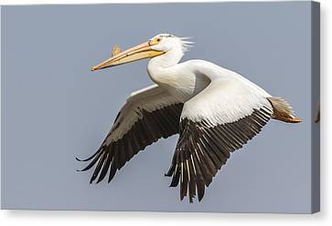 White Pelican 5-2015 Canvas Print by Thomas Young