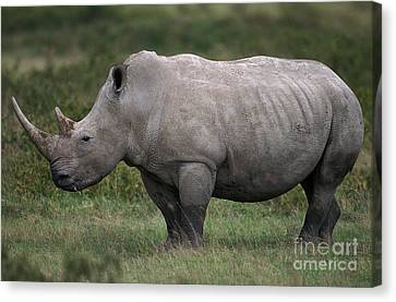 White Rhinoceros Ceratotherium Simum Canvas Print by Gerard Lacz