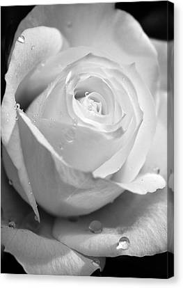 White Rose Canvas Print by Brian Roscorla