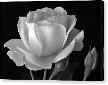 White Rose Canvas Print by Terence Davis
