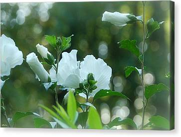 White Roses Of Sharon Canvas Print by Molly Dean