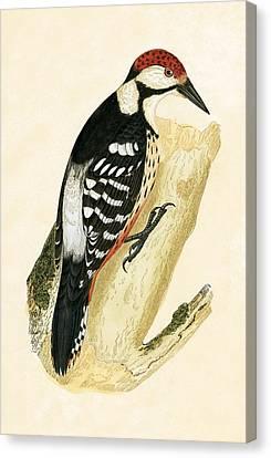 White Rumped Woodpecker Canvas Print by English School