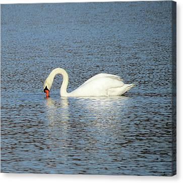 White Swan Feeding Canvas Print by MTBobbins Photography