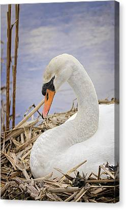 White Swan On Nest Canvas Print by LeeAnn McLaneGoetz McLaneGoetzStudioLLCcom