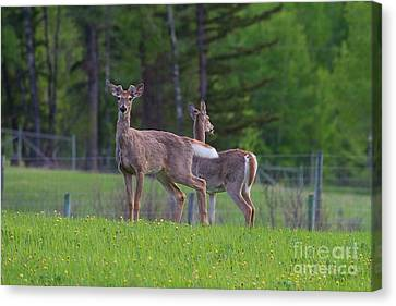 White Tail Deer Canvas Print by Naman Imagery