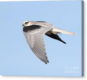 White-tailed Kite Hawk In Flight . 7d11110 Canvas Print by Wingsdomain Art and Photography