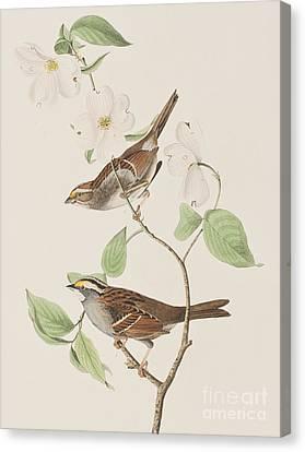 White Throated Sparrow Canvas Print by John James Audubon