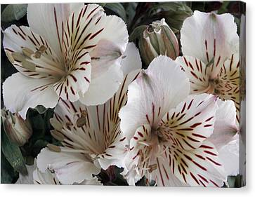 White Tiger Azalea Canvas Print by Ben and Raisa Gertsberg