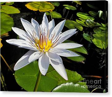 White Waterlily And Lily Pads By Kaye Menner Canvas Print by Kaye Menner