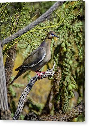 White-winged Dove V53 Canvas Print by Mark Myhaver