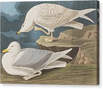 White-winged Silvery Gull Canvas Print by John James Audubon