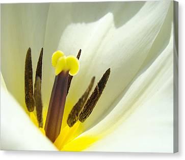 White Yellow Tulip Flower Fine Art Prints Canvas Print by Baslee Troutman