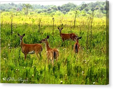 Whitetail Deer Family Canvas Print by Barbara Bowen