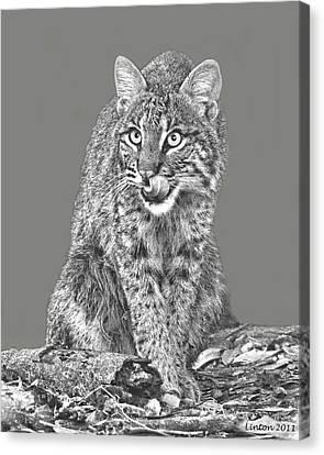 Wild Bobcat Canvas Print by Larry Linton
