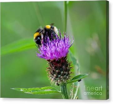Wild Busy Worker Bumble Bee On A Thistle Flower Canvas Print by Chris Smith