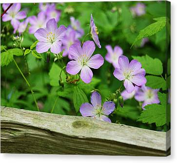 Wild Geraniums Canvas Print by Michael Peychich