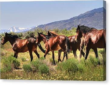 Wild Horses Of Nevada Canvas Print by Donna Kennedy