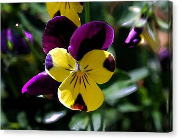 Wild Pansy Canvas Print by Don  Wright
