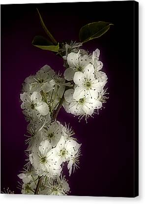 Wild Plum Blooms Canvas Print by M K  Miller