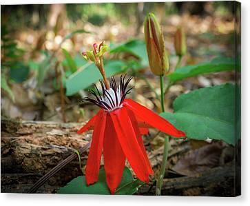 Wild Red Passion Flower Canvas Print by Yuka Ogava