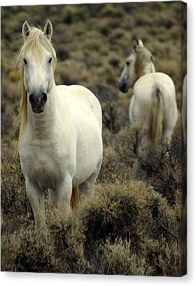 Wild Stallion Canvas Print by Marty Koch