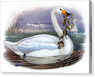 Wild Swan Antique Bird Print The Birds Of Great Britain Canvas Print by Orchard Arts