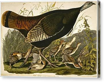 Wild Turkey Canvas Print by William Lizars
