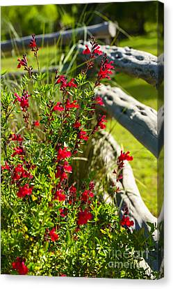 Wildflowers And Rail Fence Canvas Print by Thomas R Fletcher