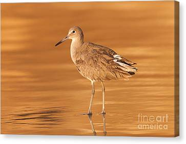 Willet Canvas Print by Clarence Holmes