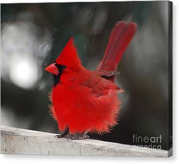 Windblown Cardinal Canvas Print by Kerri Farley