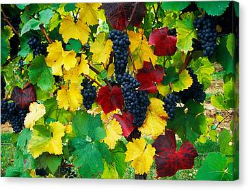 Wine Grapes On Vine, Autumn Color Canvas Print by Panoramic Images