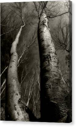 Winter Birch Canvas Print by Kim Zier