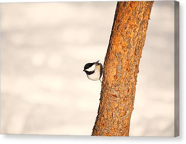Winter Chickadee Canvas Print by Karol Livote