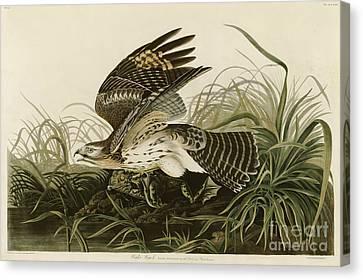 Winter Hawk Canvas Print by John James