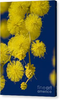 Winter Mimosa Blossoms Canvas Print by Jean-Louis Klein & Marie-Luce Hubert