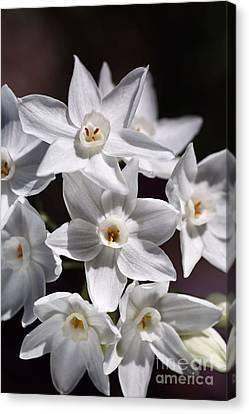 Winter Paperwhite Flowers Canvas Print by Joy Watson
