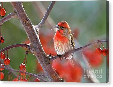 Winter Red Canvas Print by Betty LaRue