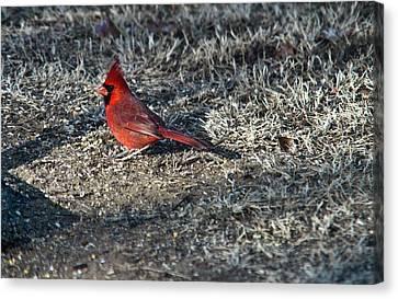 Winter Redbird Canvas Print by Douglas Barnett