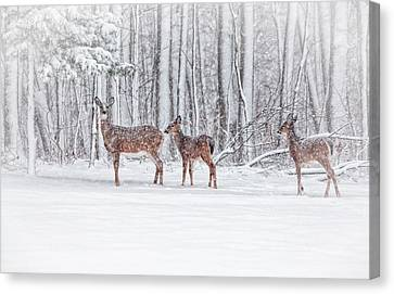 Winter Visits Canvas Print by Karol Livote