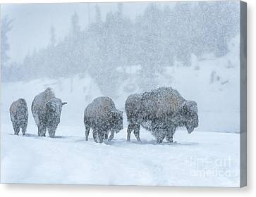 Winter's Burden Canvas Print by Sandra Bronstein