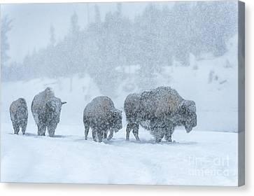 Winter's Burden Canvas Print by Sandra Bronstein
