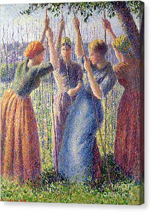 Women Planting Peasticks Canvas Print by Camille Pissarro