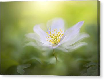 Wood Anemone Canvas Print by Jacky Parker