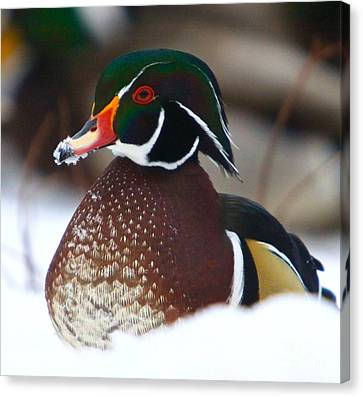 Wood Duck Canvas Print by Robert Pearson